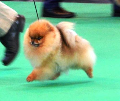 crufts2014bee.jpg